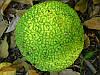 Маклюра Крымская (очень крупные плоды) - урожай 2018г.