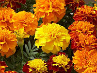 Бархатцы цветки 20шт.