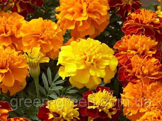 Чорнобривці квітки 20шт.