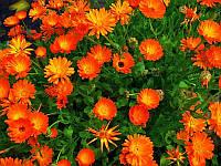 Календула цветки 20шт.