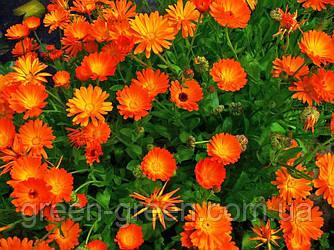 Календули квітки 20шт.