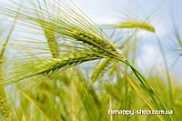 """Фотообои: """"Пшеничный колосок"""""""
