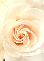 """Бумажные фотообои """"Роза невеста"""" 97х140 см"""