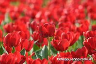 """Фотообои: """"Поле из тюльпанов"""""""
