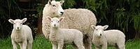Какую пользу для здоровья человека оказывает овечья шерсть в составе изделий домашнего текстиля?