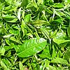 Свойства чая Пуэр: всё лучшее, что есть в природе