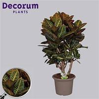 Крупномеры Codiaeum Petra Branched In Deco Pot, 30, Кротон, 120