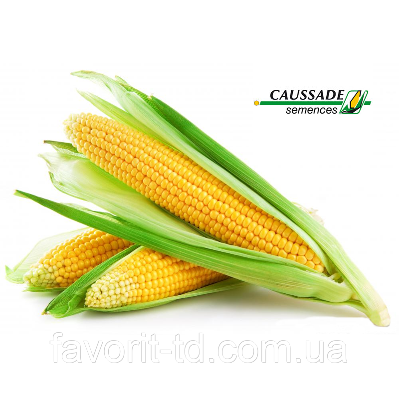 Семена кукурузы «Траузи КС» ФАО 210