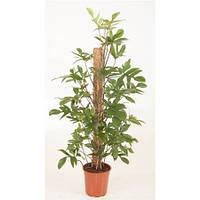 Крупномеры Philodendron Pedatum, 24, Филодендрон, 120