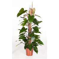 Крупномеры Philodendron Red Emerald Mosspole, 24, Филодендрон, 120