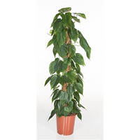 Крупномеры Philodendron Scandens Mosspole, 24, Филодендрон, 120