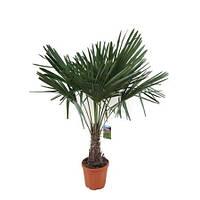Крупномеры Trachycarpus Fortunei, 32, Трахикарпус, 120