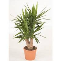 Крупномеры Yucca Branched 4/5 Arms, 30, Юкка, 120