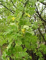 Карагана древовидная (акация желтая), семена