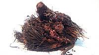 Красная щетка корень 100 грамм (Родиола четырехчленная Родиола холодная), фото 1