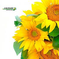 Насіння соняшнику «Соларни КС»