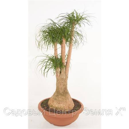 Крупномеры Beaucarnea Recurvata Branched In Bowl, 45, Бокарнея, 130