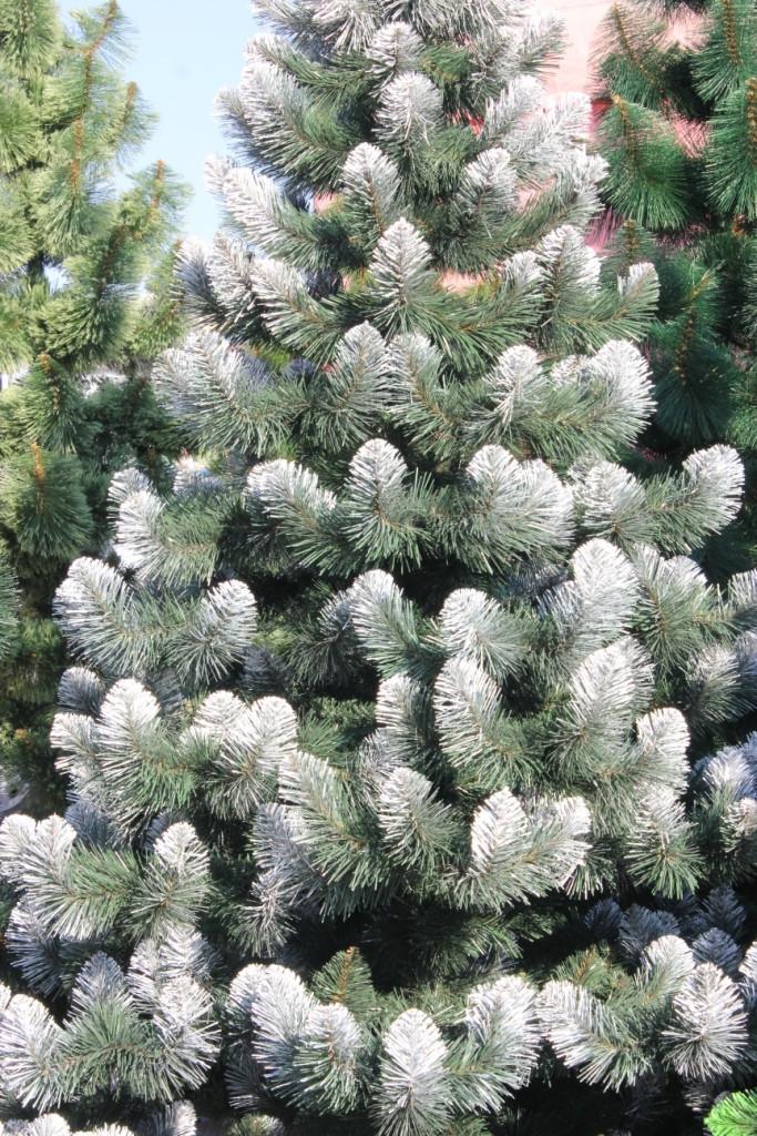Искусственная елка «Европейская» зеленая 150 (см), иголки леска (ПВХ) Италия, кончик в снегу