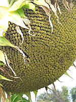 Семена подсолнечника Тунка Лимагрейн. Гибрид Тунка устойчив к семи расам заразихи и засухе. США