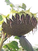 Семена подсолнечника ЛГ 5580. Гибрид устойчив к семи расам заразихи ЛГ5580 Лимагрейн