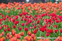 """Фотообои: """"Поле тюльпанов 2"""""""