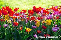 """Фотообои: """"Разноцветные тюльпаны"""""""