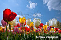 """Фотообои: """"Палитра тюльпанов"""""""