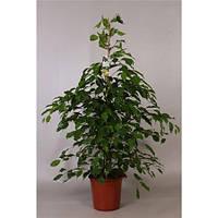 Крупномеры Ficus Be Exotica, 24, Фикус, 135