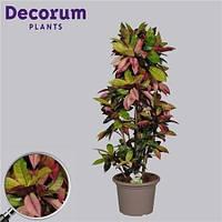 Крупномеры Codiaeum Mrs Iceton Branched In Deco Pot, 35, Кротон, 140