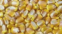 Семена кукурузы Шаланда МВ