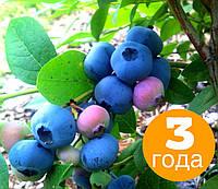 "Саженцы голубики сорт ""Блюкроп"" 3 летняя - трехлетний куст"
