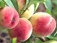 Персик Мелитопольский Ясный