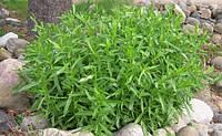 Семена многолетнего ароматного Тархуна овоще-лекарственного для приготовления различных блюд засолки овощей