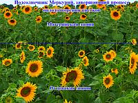 Меркурій F1 насіння соняшнику Стандарт Гермес