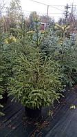 Ель обыкновенная,новогодняя  (Picea abies) 130-150см