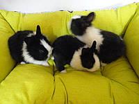 Кролик декоративный мини черно белый