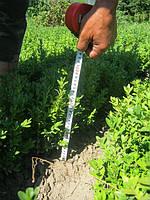 Продажа самшита вечнозеленого для живой  стриженной изгороди