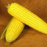 Семена кукурузы Мореленд \ MORELAND GSS 1453 F1 100.000 семян Syngenta