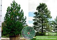 Крупномер крымской сосны 4 метра