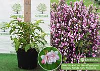 Вейгела цветущая Нана Пурпуреа (Nana Purpurea), 30-40 см