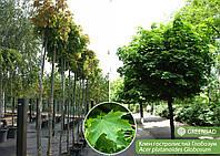 Клен остролистный Глобозум (Globosum), 2,0-2,5 метра
