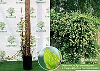 Жимолость японская Ауреоретикулата (Aureoreticulata), 60-80 см