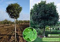 Ясень обыкновенный Нана (Nana) шаровидный, 1,8-2,2 метра