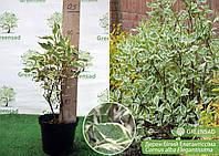 Дерен белый Елегантиссима (Elegantissima), 45-55 см