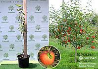 Яблоня Пинова (Pinova), саженец 1,1-1,3 метра (контейнер 10 л)