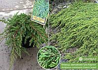Можжевельник обыкновенный Грин Карпет (Green Carpet), 30-35 см