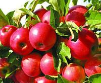 Саженцы яблони сорт Айдаред