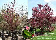 Яблоня декоративная, 3-3,5 метра
