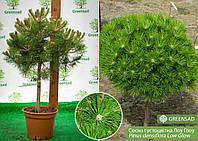 Сосна густоцветная Лоу Глоу (Low Glow), 40-50 см