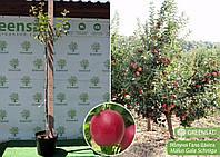 Яблоня «Гала Шнига» (контейнер), 1,8-2,0 метра
